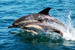 Zwei Delfine springen vor der Algarve aus dem Atlantik