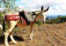 Gesattelt zur Eselwanderung an der Algarve