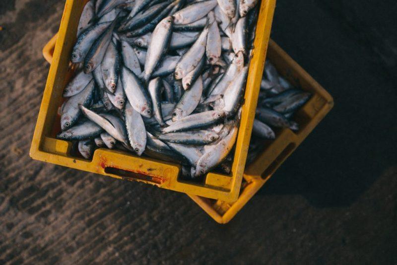 Algarve News über ausgelaufenes Fangverbot für Sardinen an der Algarve