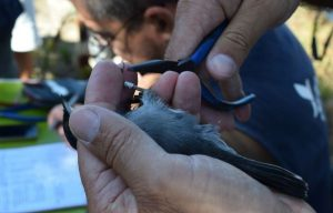 Vogelbeobachter beringen in Sagres an der Algarve Jungvögel