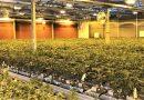 Wird Alentejo größter Cannabis-Produzent?