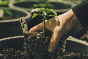 Cannabis wird im Alentejo in Portugal für medizinische Zwecken angebaut