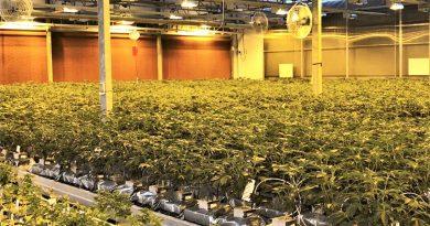 Cannabis wird in Aljustrel im Alentejo für medizinische Zwecke legal angebaut